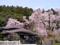寺と桜.jpg