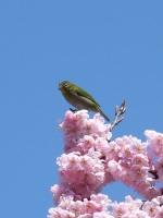 桜と鶯.jpg